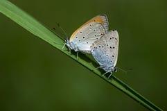 Koppar-fjäril fjärilar fotografering för bildbyråer