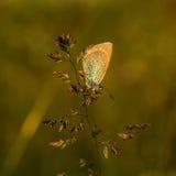 Koppar-fjäril fjärilar royaltyfria bilder