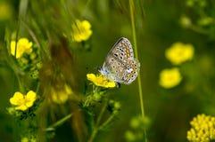 Koppar-fjäril fjärilar arkivbild