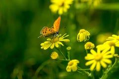 Koppar-fjäril fjärilar royaltyfri bild