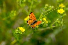 Koppar-fjäril fjärilar arkivbilder