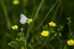Koppar-fjäril fjärilar royaltyfria foton
