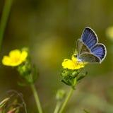 Koppar-fjäril fjärilar arkivfoton