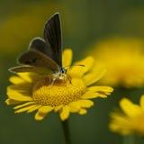 Koppar-fjäril latLycaenidae royaltyfri fotografi