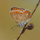 Koppar-fjäril latLycaenidae arkivbild