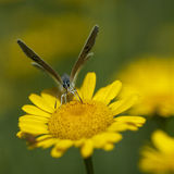 Koppar-fjäril latLycaenidae royaltyfria foton