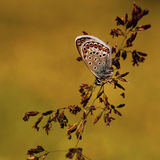 Koppar-fjäril latLycaenidae royaltyfria bilder