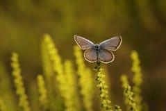Koppar-fjäril latLycaenidae fotografering för bildbyråer
