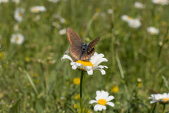 Koppar-fjäril på kamomill Arkivfoto