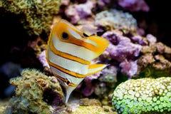 Kopparmusikbandfjärilsfisk arkivfoto