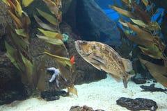 Kopparrockfish Royaltyfria Foton