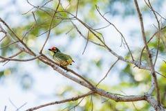Kopparslagare Barbet Bird Arkivbild