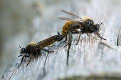 Koppelend robberflies, Laphria-flava, macrofoto stock afbeeldingen