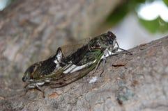 Koppelende Cicaden Royalty-vrije Stock Afbeeldingen