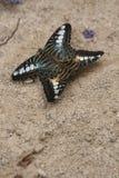Koppelende Clipper Vlinders Royalty-vrije Stock Afbeeldingen