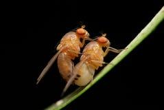 Koppelende fruitvliegen Stock Foto