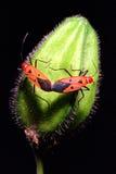 Koppelende insecten Royalty-vrije Stock Afbeeldingen