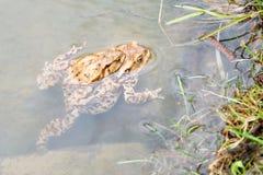 Koppelende kikkers in het meer Paar bruine gemeenschappelijke padden Stock Afbeeldingen