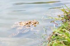 Koppelende kikkers in het meer Paar bruine gemeenschappelijke padden Royalty-vrije Stock Foto