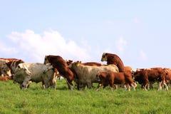 Koppelende koe en stier Stock Foto's