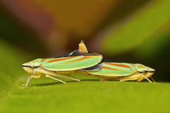 Koppelende Leafhoppers van de Rododendron stock foto