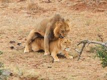 Koppelende leeuwen Stock Foto's