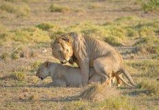 Koppelende leeuwen Royalty-vrije Stock Afbeelding