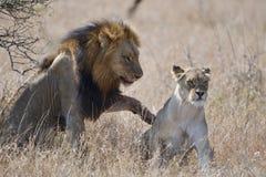 Koppelende leeuwen royalty-vrije stock afbeeldingen