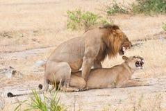 Koppelende leeuwen in de savanne in Afrika - de nationale reserve van het park selous spel in Tanzania stock afbeeldingen