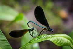 Koppelende Libellen Stock Afbeeldingen