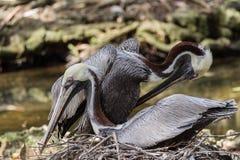 Koppelende Pelikanen stock afbeelding