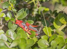 Koppelende Rode Giftige Milkweed-Sprinkhanen royalty-vrije stock foto's