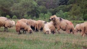 Koppelende schapen stock footage