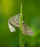 Koppelende vlindermot Royalty-vrije Stock Foto's