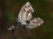 Koppelende vlinders royalty-vrije stock afbeeldingen