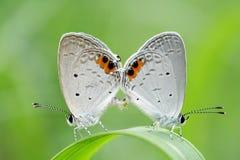 Koppelende vlinders Royalty-vrije Stock Foto's