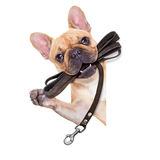 Koppelhund som är klar för en gå Royaltyfria Bilder