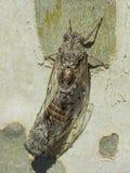 Koppeling van twee cicaden op een vliegtuigboom - de Zomer in het zuiden van Frankrijk Royalty-vrije Stock Afbeeldingen