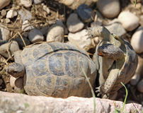 Koppelung von zwei großen Schildkröten während der Decksaison stockfotos