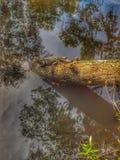 Koppla av alligatorn royaltyfri bild