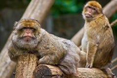 Koppla av barbary macaques Royaltyfria Bilder