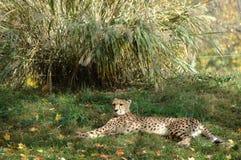 koppla av för cheetah arkivfoto