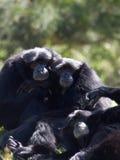 Koppla av för gibbon royaltyfri fotografi