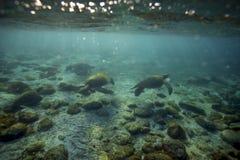 Koppla av för havssköldpaddor som är undervattens- Royaltyfria Foton
