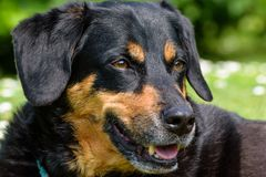 Koppla av för herdehund Royaltyfria Foton