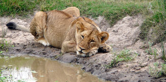 koppla av för lion Royaltyfri Bild