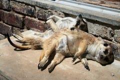 koppla av för meerkats Royaltyfri Foto