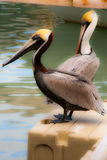 Koppla av för pelikan Royaltyfri Bild