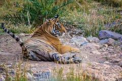 Koppla av för tigersultan Arkivbild