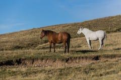 Koppla ihop av hästar royaltyfri foto